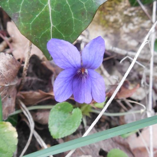 Fleur de violette, Viola odorata