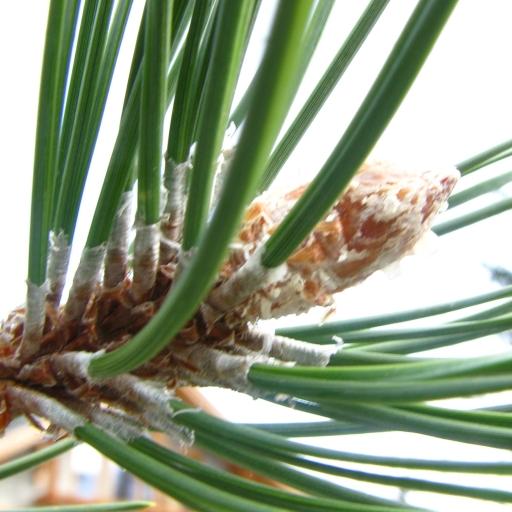 Rameau de pin sylvestre (aiguilles et bourgeon terminal)