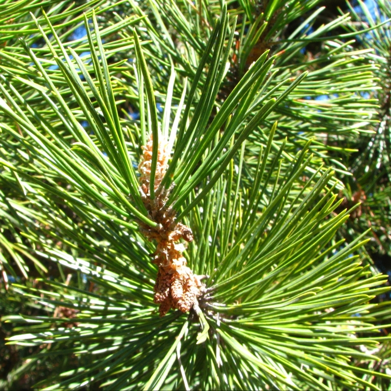 Rameaux de pin sylvestre