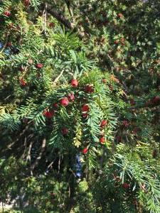 Rameaux et fruits de l'if (Taxus baccata)