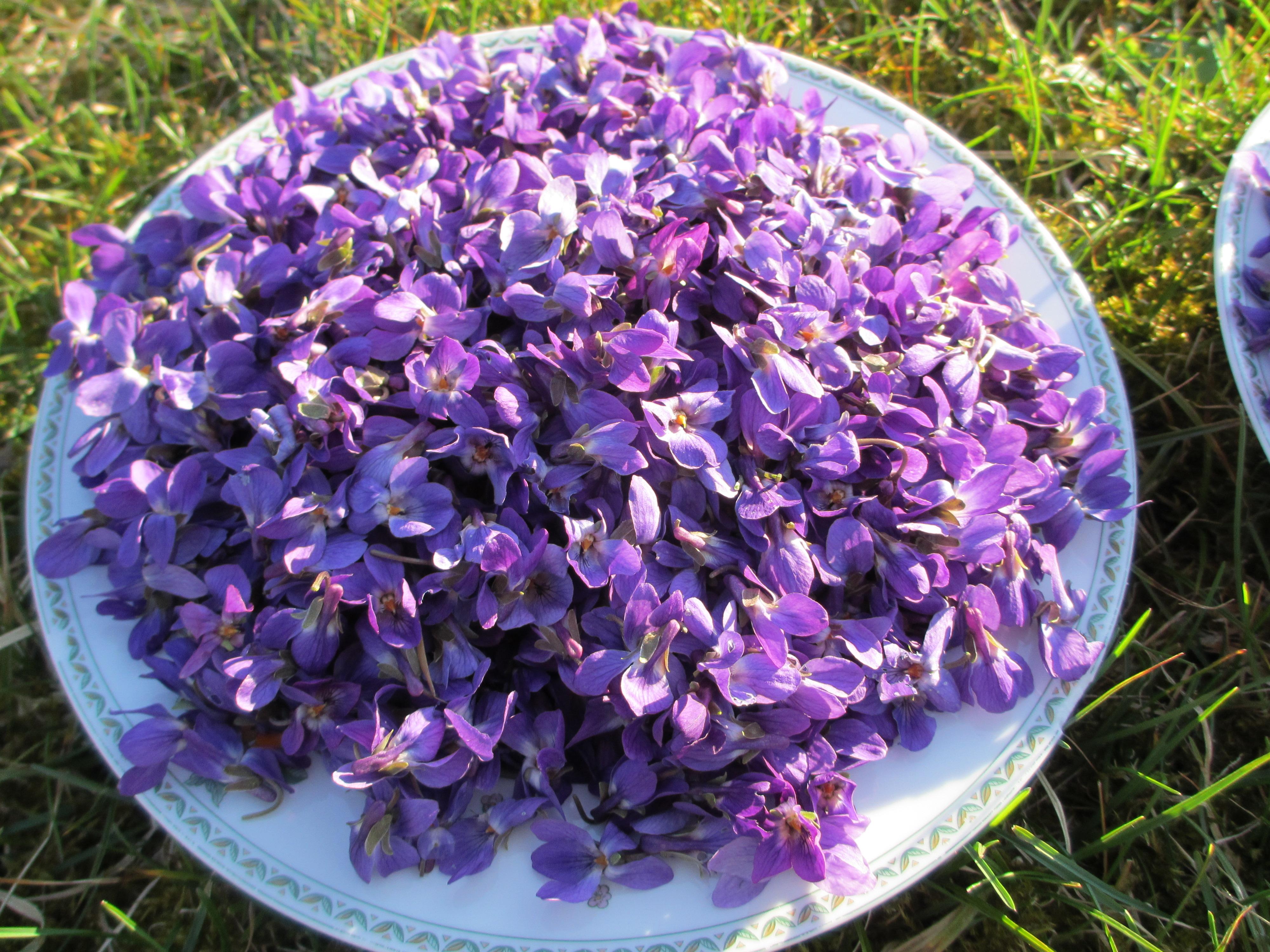 Cueillette de fleurs de violettes