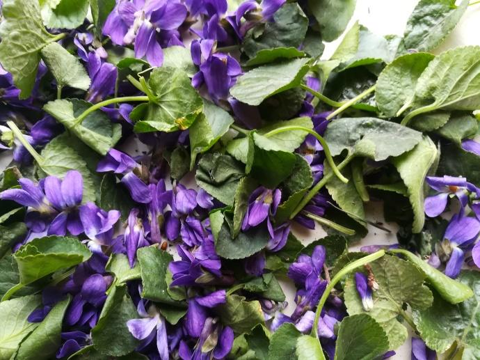 Cueillette de fleurs et de feuilles de violettes