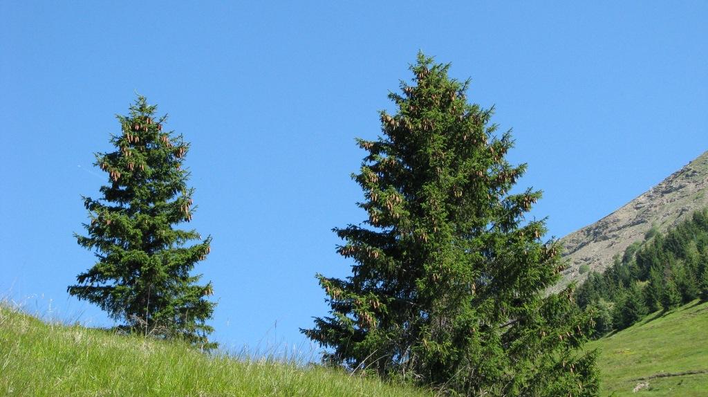 Epicéas, reconnaissables aux pommes de pins dirigées vers le bas