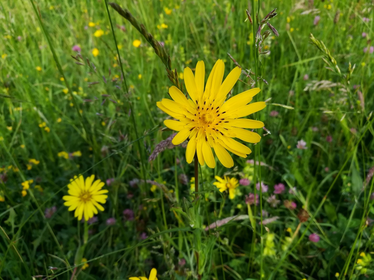 Fleur de salsifis, une plante sauvage comestible