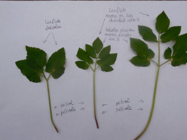 Description botanique des feuilles d'égopode