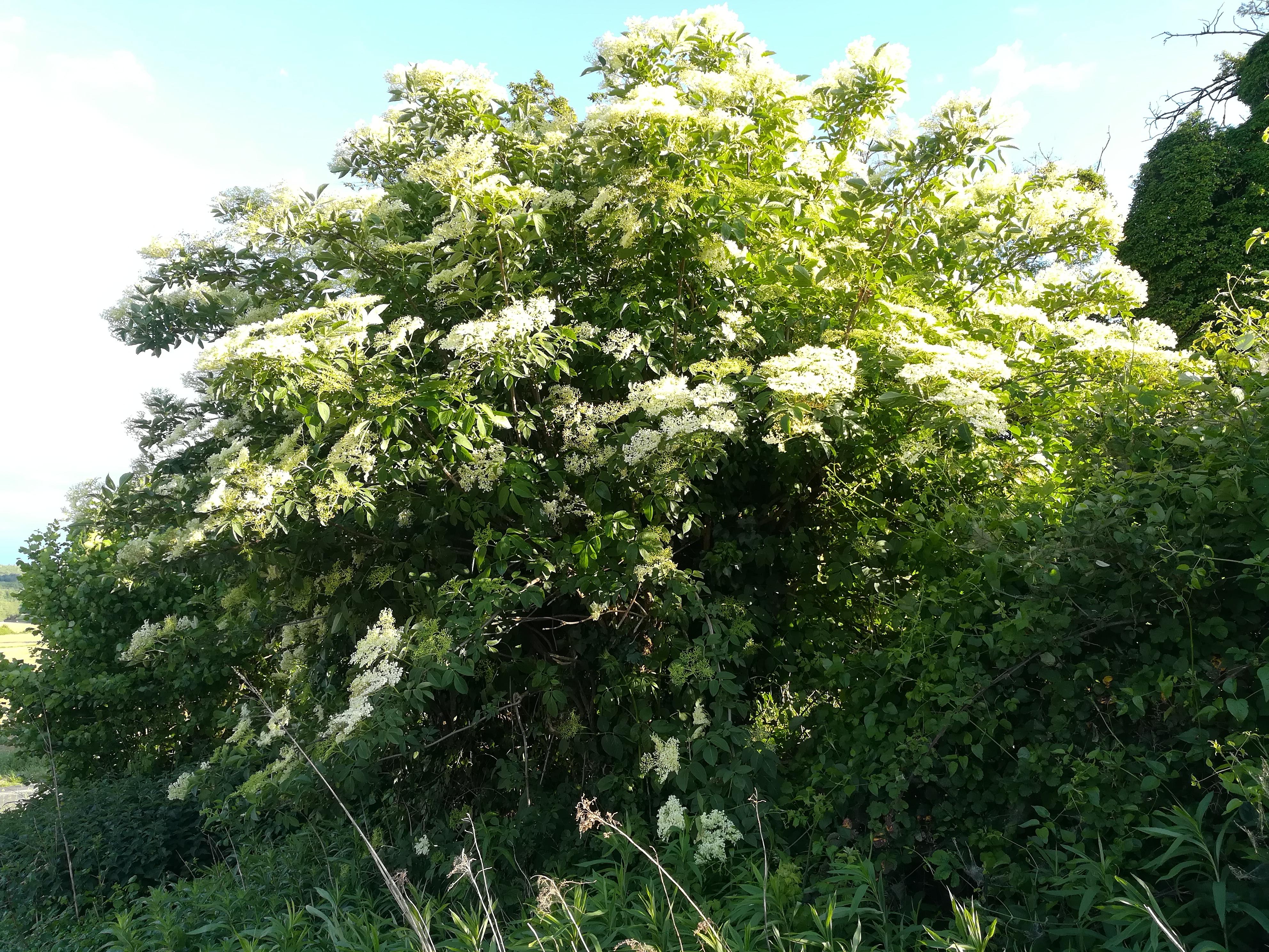 Sureau noir en fleurs (Sambucus nigra)