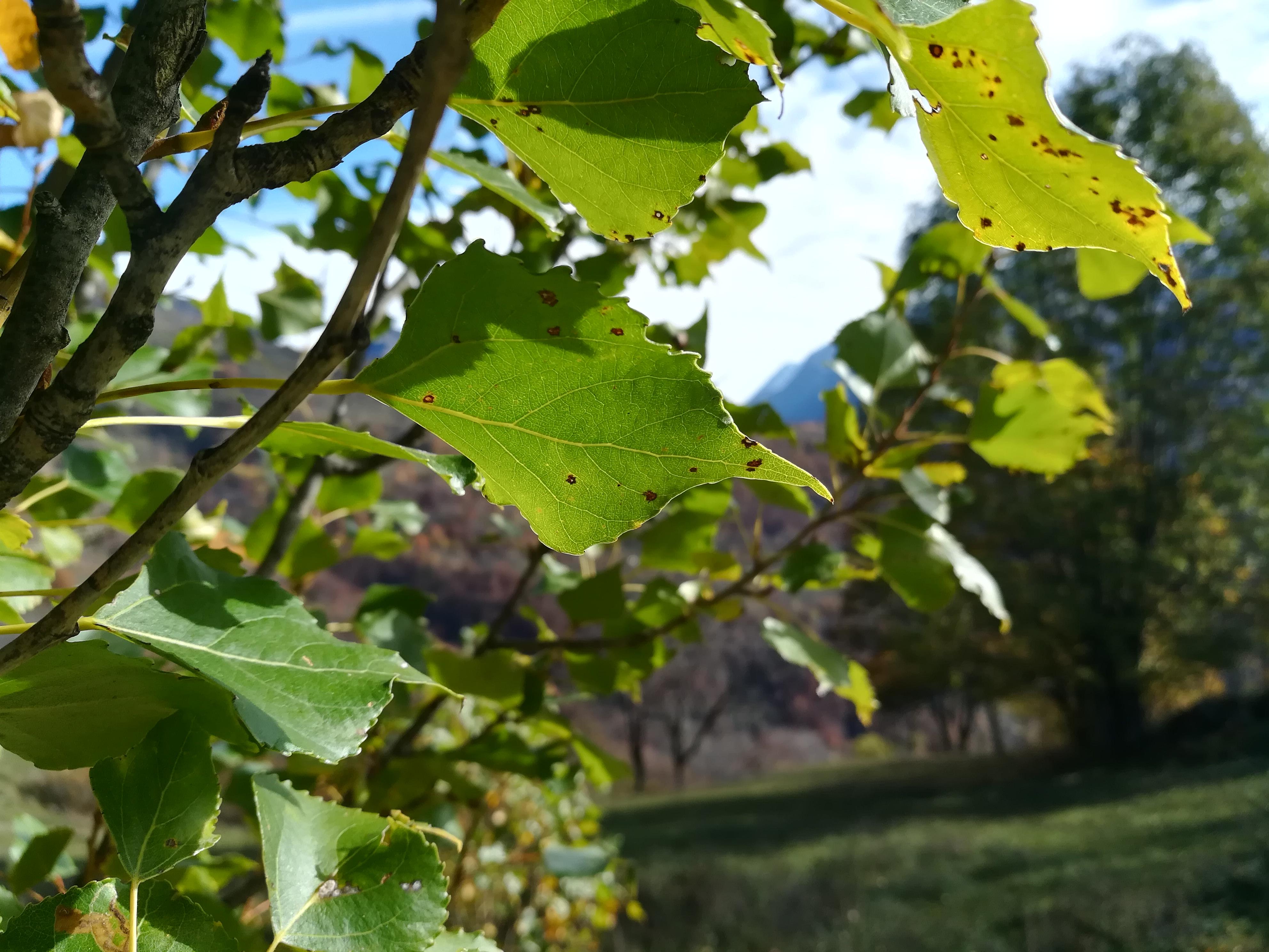 Feuilles de peuplier (Populus nigra)