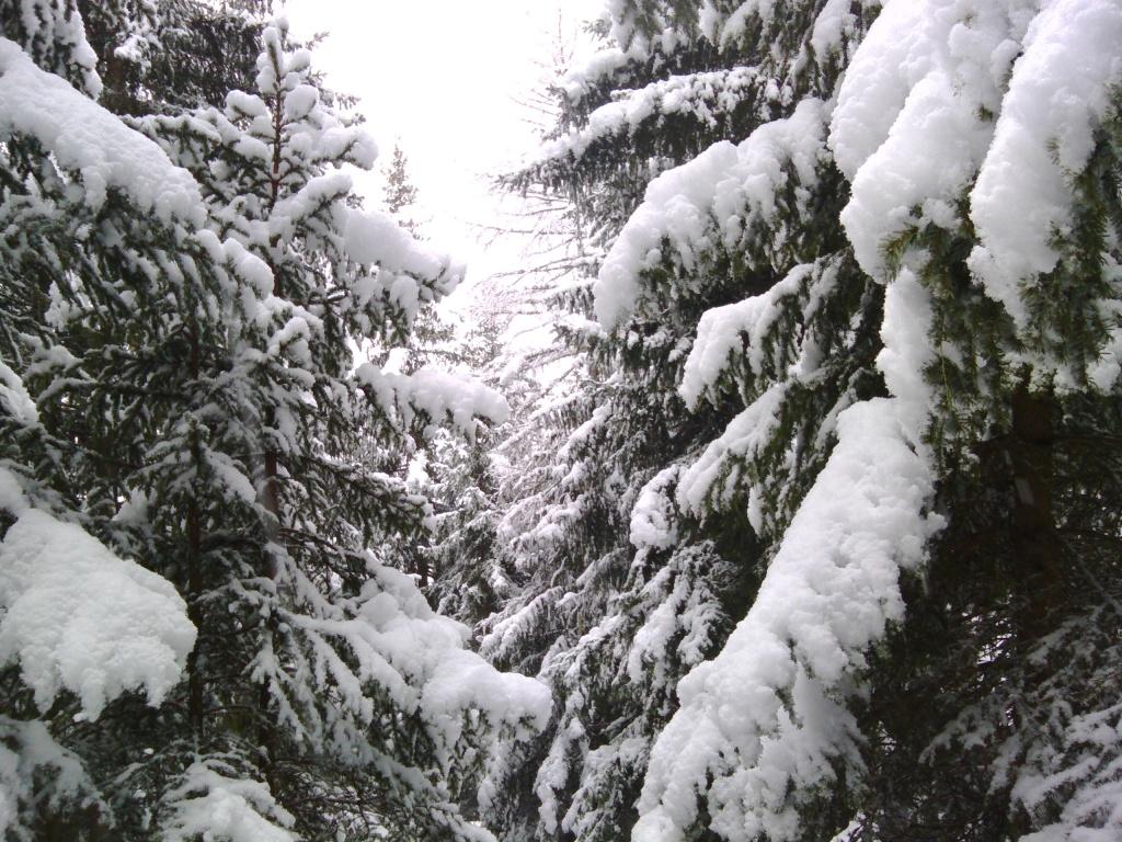 Epicéas sous la neige
