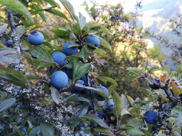 Prunelles sur un prunellier (Prunus spinosa)