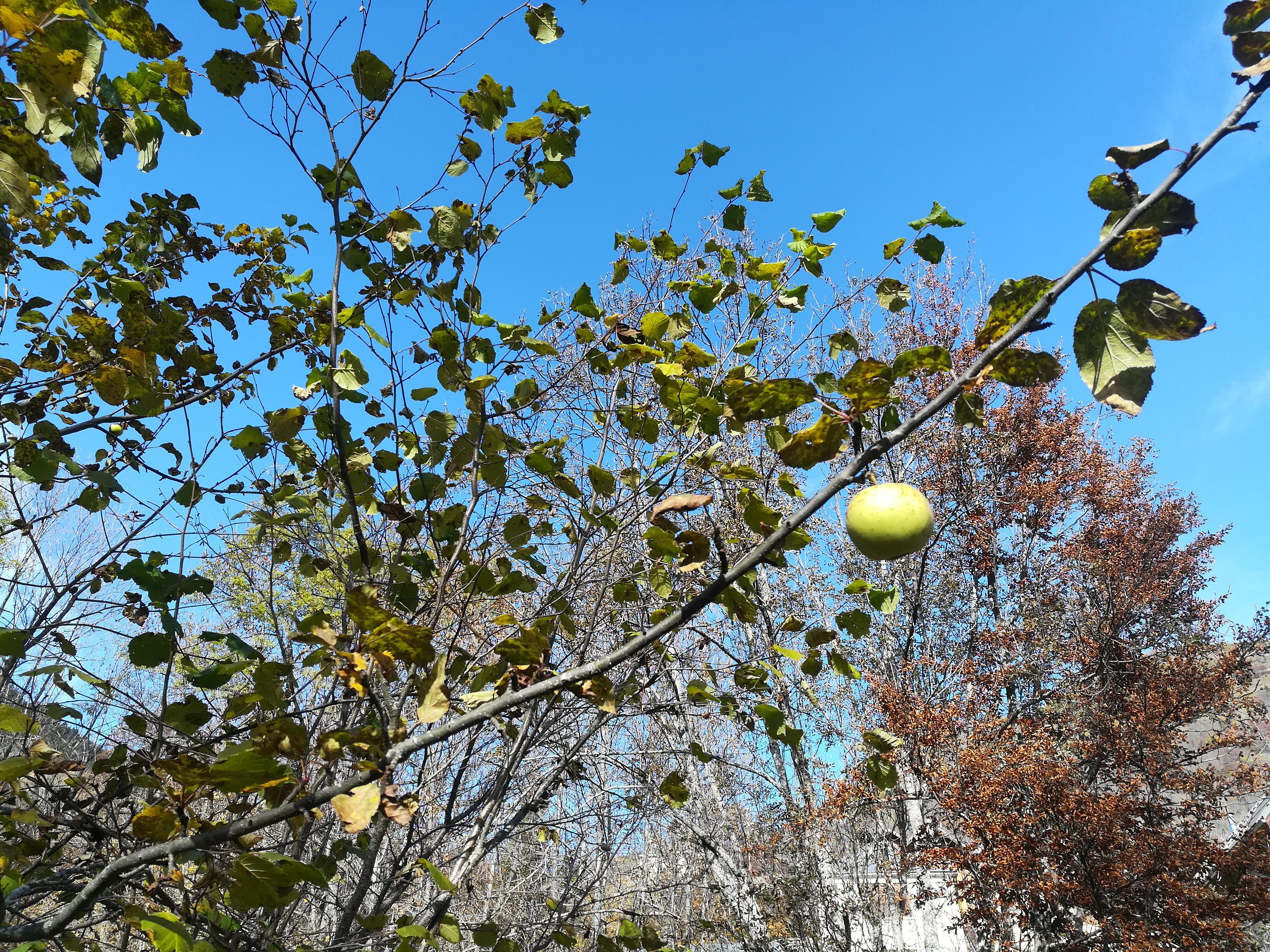 La dernière pomme du pommier