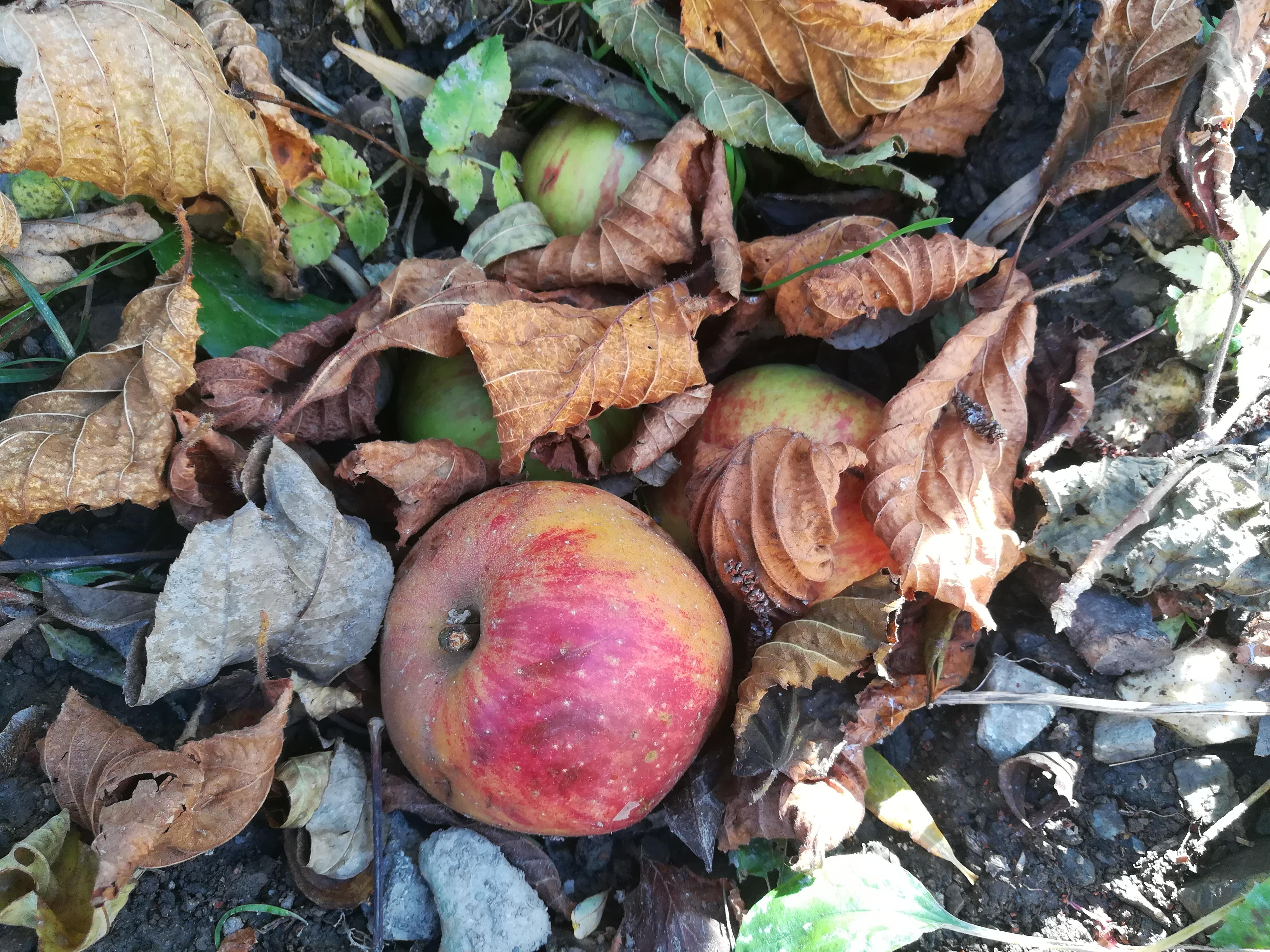 Pommes parmi les feuilles mortes d'automne