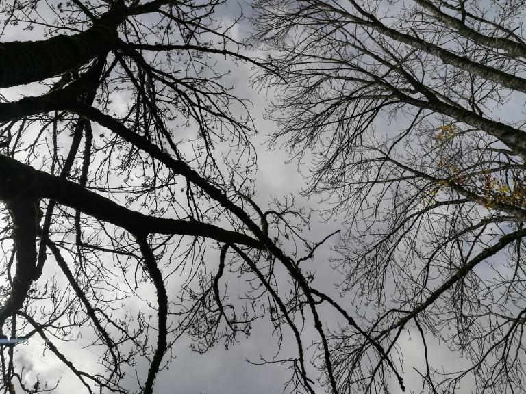 Erables sycomores sans feuilles