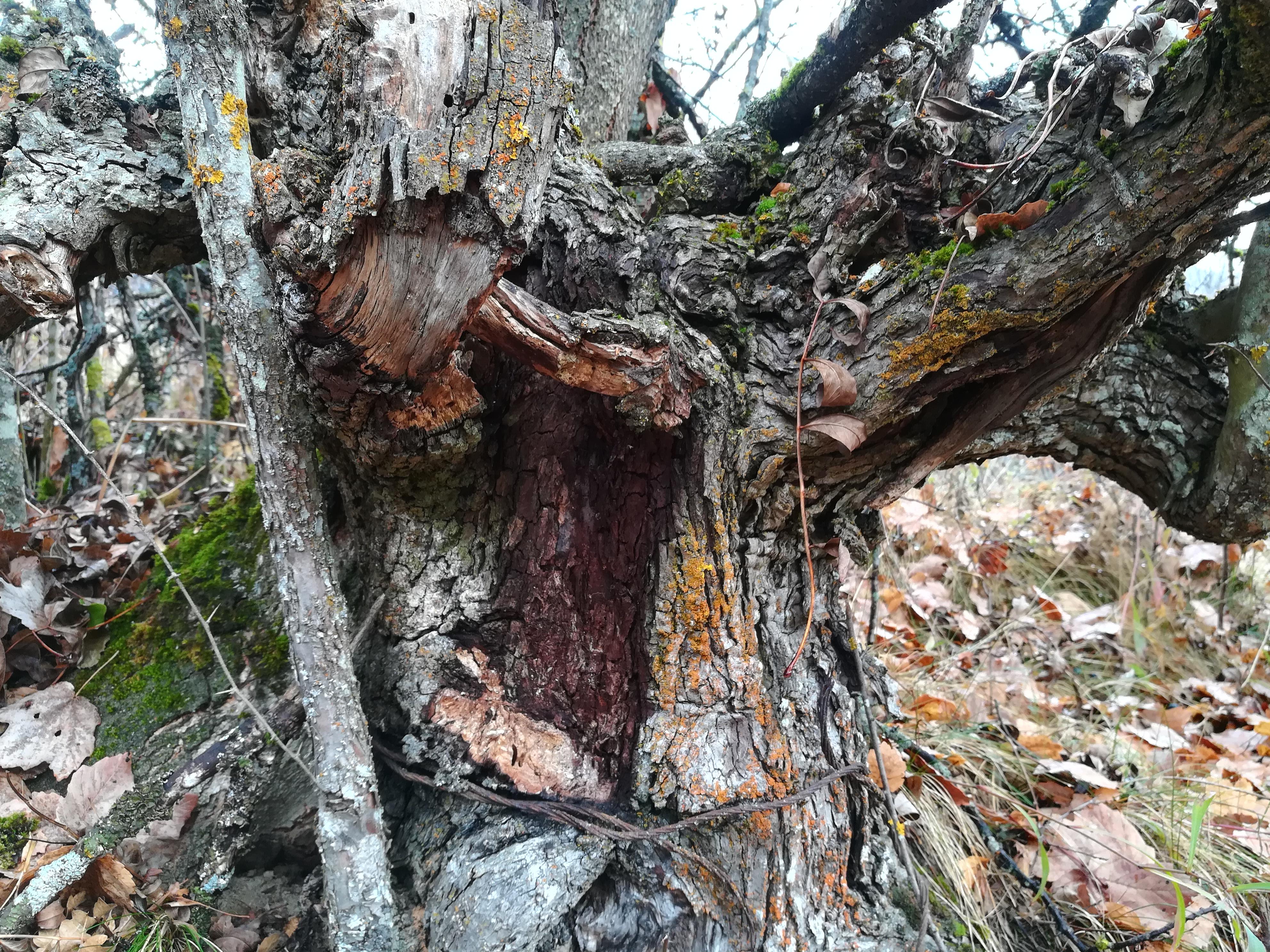 Arbre avec une grande plaie sur le tronc
