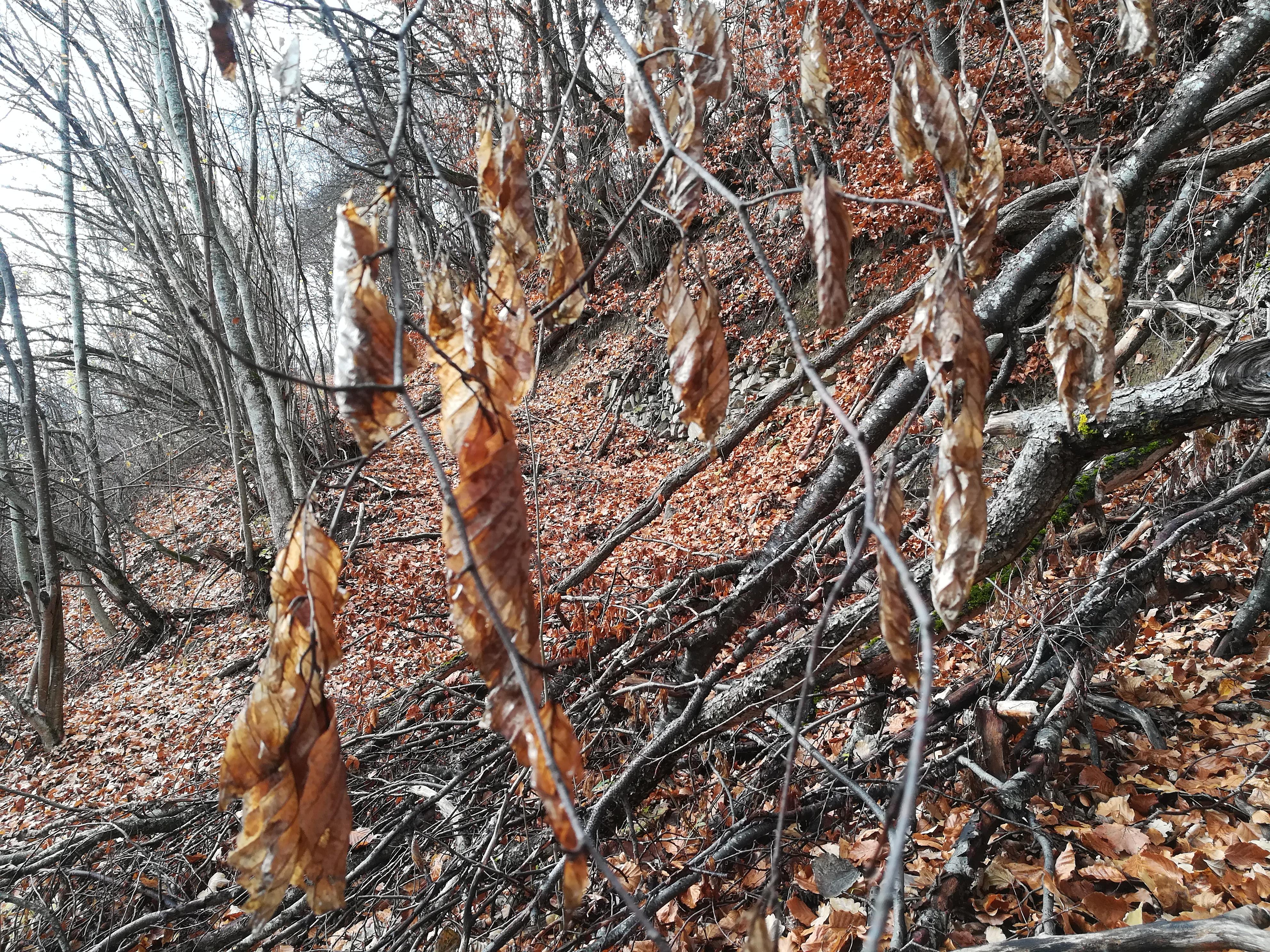 Feuilles de hêtre en automne