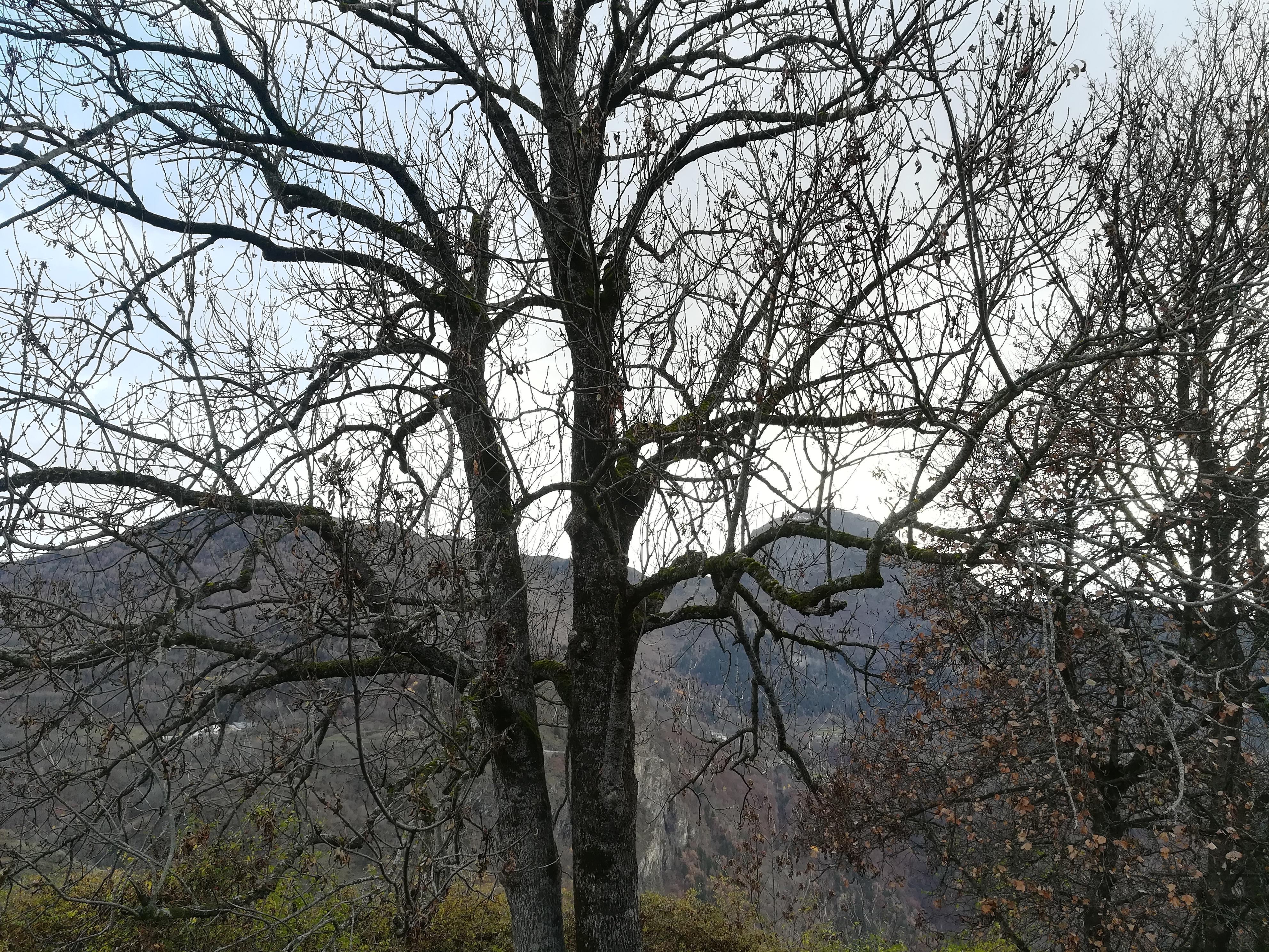 Un frêne à double tronc en automne