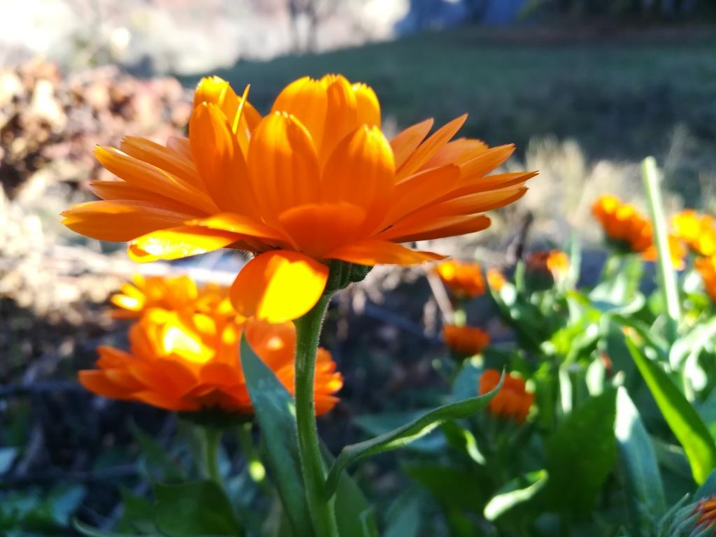 Fleur (capitule) de Calendula (souci)