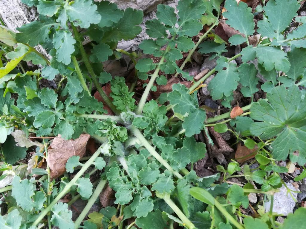 Feuilles basales de la chélidoine (Chelidonium majus)