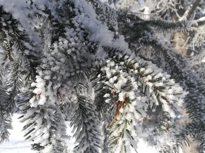 Rameaux d'épicéa (Picea abies) : aiguilles disposées en goupillon