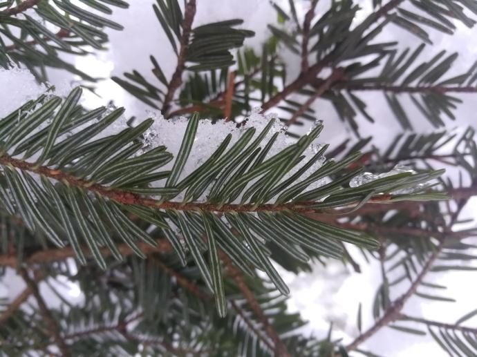 Aiguilles du sapin (Abies alba) : plates, de part et d'autre du rameau, au sommet arrondi