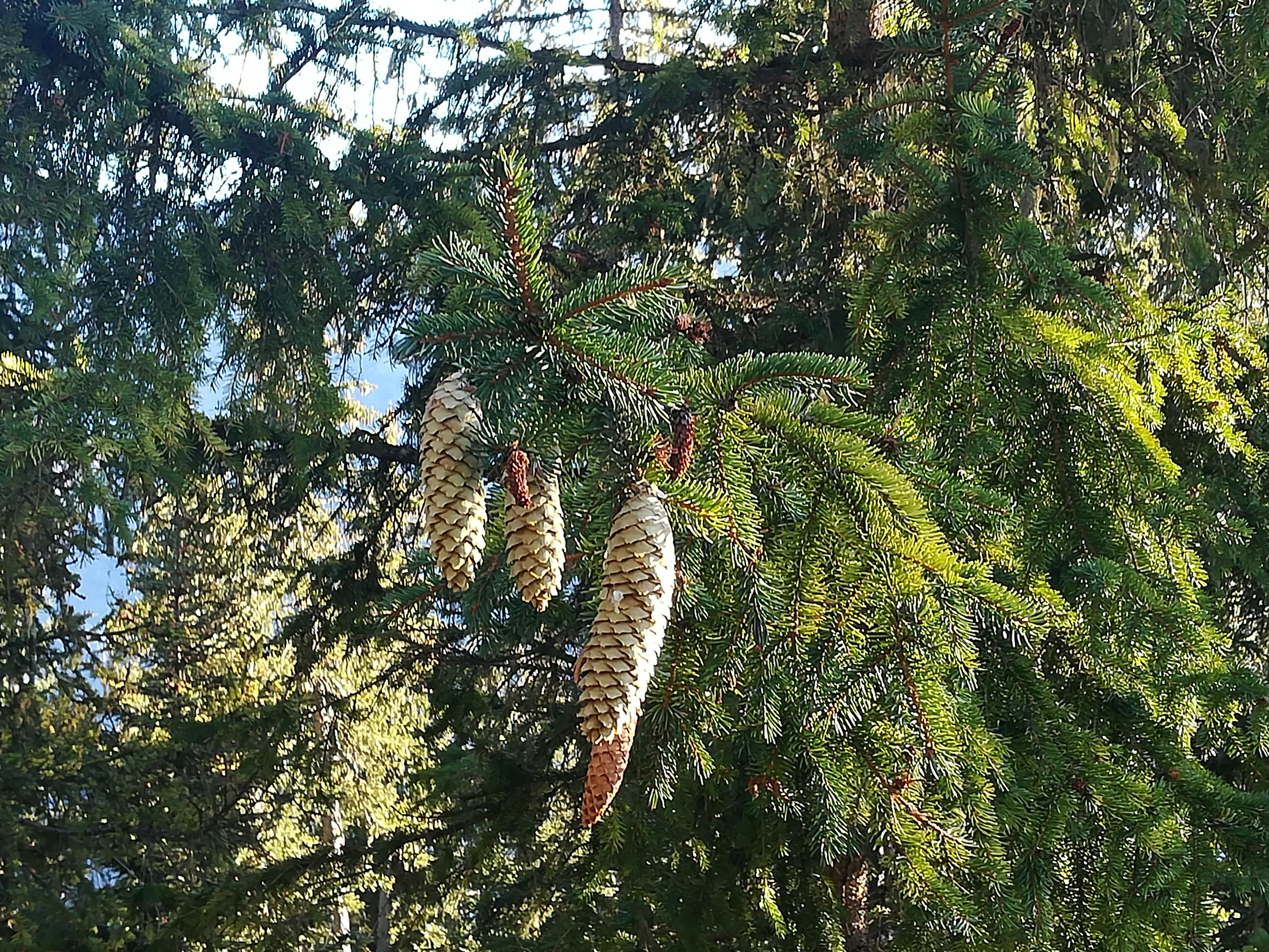 Rameaux d'épicéa (Picea abies)