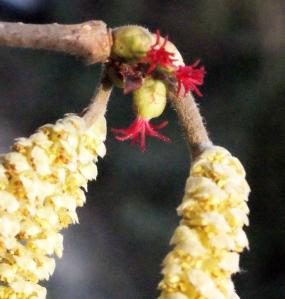 Chatons mâles de noisetier (Corylus avellana), surmontés des fleurs femelles