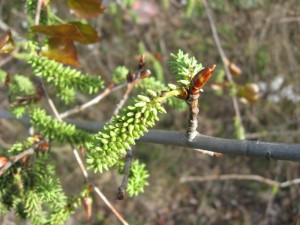 Chatons femelles de peuplier (Populus nigra)